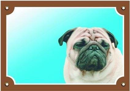Barevná cedulka Pozor pes Mops VÝPRODEJ